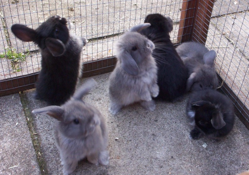 mini lop rabbit and dwarf lop rabbit pictures to pin on